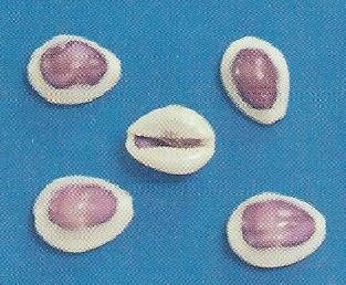 Purple Top Ring Top Cowrie